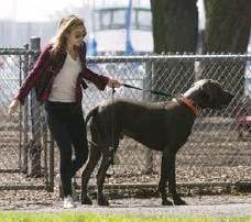 ?? BERNARD WEIL/TORONTO STAR FILE PHOTO ?? Teaching leash manners, such as not pulling ahead, requires consistency, dedication and commitment, Yvette Van Veen writes.