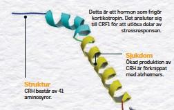 ??  ?? Detta är ett hormon som frigör kortikotropin. Det ansluter sig till CRF1 för att utlösa delar av stressresponsen.