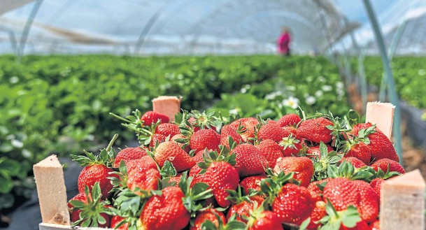 ??  ?? PICK FOR BRITAIN: The UK Government is reportedly about to confirm the move due to a drastic shortage in the amount of seasonal workers picking fruit in Britain
