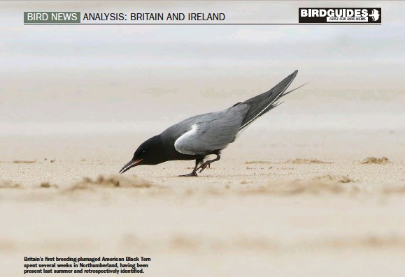 ??  ?? Britain's first breeding-plumaged American Black Tern spent several weeks in Northumberland, having been present last summer and retrospectively identified.