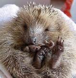 ??  ?? Cute as a button: A hedgehoglet