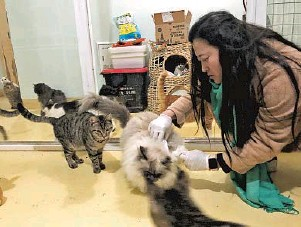 ??  ?? Left: Liu Yan tends to the stray cats she has rescued at an apartment in Caolu of Pudong.