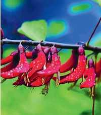 ??  ?? The scarlet blooms of Erythrina bidwillii dazzle when the sky is blue and the sun shines but when the rain comes they are still bright and cheerful.