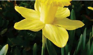 ??  ?? FROM LEFT: Narcissus are also known as daffodils; Chrysanthemums come in many shades, sizes and shapes.