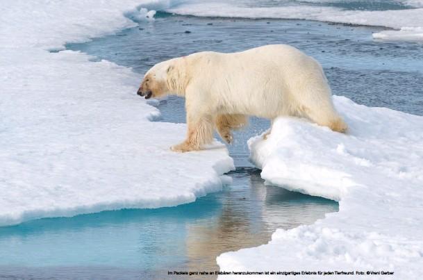 ??  ?? Im Packeis ganz nahe an Eisbären heranzukommen ist ein einzigartiges Erlebnis für jeden Tierfreund. Foto: © Vreni Gerber