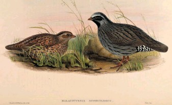 ??  ?? If still extant – many believe it isn't! – Himalayan Quail must be among the world's rarest Galliformes. Known from only a dozen or so specimens procured in the lower western Himalaya (most recently in 1876), in the state of Uttarakhand in India, searches since have failed to re-find it. This image is a painting by John Gould based on specimens in the World Museum (Liverpool).