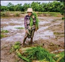 ?? Photo: Mar Naw ?? A paddy farmer prepares to plant in Yangon's Twante township.