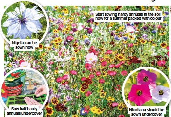 ??  ?? Start sowing hardy annuals in the soil now for a summer packed with colour