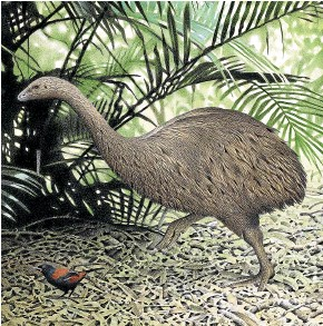 ?? TE PAPA ?? Little bush moa (Anomalopteryx didiformis), were 50 to 90cm tall and weighed between 26 and 64 kilograms.
