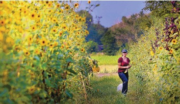 ?? JIM THOMPSON/JOURNAL ?? Paloma Garcia and her dog Alaska look for the perfect bouquet of sunflowers in the Los Poblanos Fields Open Space next to the Community Gardens in the North Valley in August 2020.