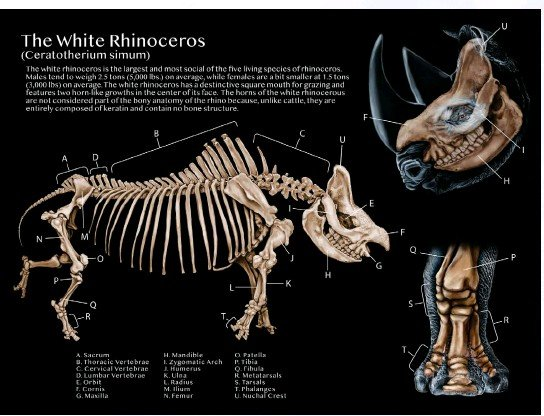 """?? © 2020 Lucy McCroskey. All rights reserved. ?? Above: """"The White Rhinoceros: Bony Anatomy"""" A series of illustrations showing the skeletal anatomy of the white rhinoceros. This poster is currently on display in the UGA College of Veterinary Medicine accompanying the posed white rhino skeleton in the Reading Room."""