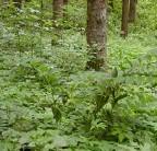 ??  ?? Die Wuchsform der Blätter weist auf Merkur hin