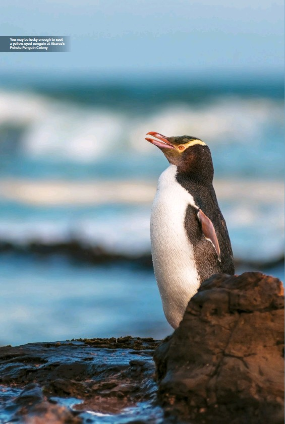 ??  ?? You may be lucky enough to spot a yellow-eyed penguin at Akaroa's Pohutu Penguin Colony