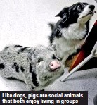 ??  ?? Like dogs, pigs are social animals that both enjoy living in groups