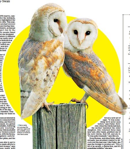 ??  ?? i Barn owls are among the species captured by wildlife artist Robert E Fuller's live bird cams