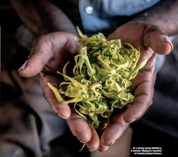 ??  ?? At a ylang-ylang distillery, a worker displays a handful of freshly picked flowers