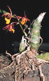 ?? FOTO: CORTESÍA AMITIGRA ?? Esta es la orquídea endémica Mormodes ephippilabia en La Tigra.