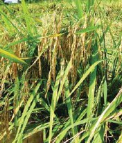 ??  ?? This is a high yielding inbred or OPV rice variety.