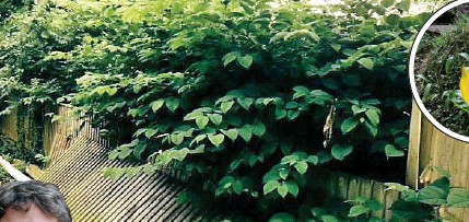 ??  ?? Pictures: FIONA MACFARLANE & GETTY Japanese knotweed, above, can grow into concrete and drains, blighting nearby properties