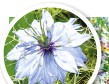 ??  ?? Nigella can be sown now