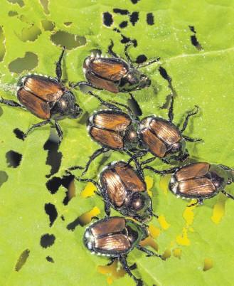 ?? FOTO: IMAGEBROKER/IVAN KUZMIN/IMAGO IMAGES ?? Der Japankäfer ist gefräßig. Insgesamt haben invasive Arten in den vergangenen sechzig Jahren in Europa Schäden von mehr als 116 Milliarden Euro verursacht.