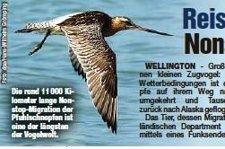 ?? ?? Die rund 11 000 Kilometer lange Nonstop-Migration der Pfuhlschnepfen ist eine der längsten der Vogelwelt.