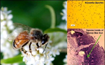 ?? COURTESY PHOTO USDA AGRICULTURAL RESEARCH SERVICE ?? New studies show that Nosema ceranae, a major intracellular pest of honey bees, hijacks the pollinator's iron, diverting it to the parasite's own needs.