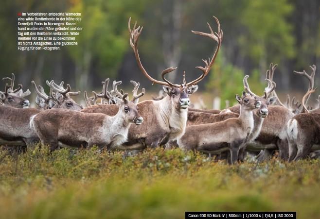 ??  ?? >> Im Vorbeifahren entdeckte Warnecke eine wilde Rentierherde in der Nähe des Dovrefjell-parks in Norwegen. Kurzerhand wurden die Pläne geändert und der Tag mit den Rentieren verbracht. Wilde Rentiere vor die Linse zu bekommen ist nichts Alltägliches. Eine glückliche Fügung für den Fotografen. Canon EOS 5D Mark IV   500mm   1/1000 s   F/4,5   ISO 2000