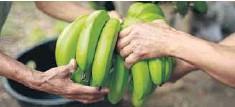 ??  ?? Fibras de las plantas de plátano son usadas por la industria.