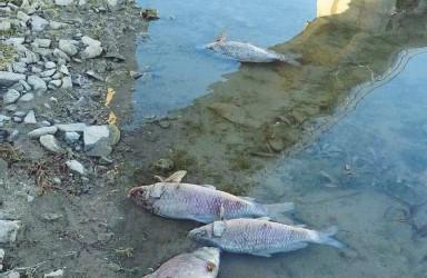 ??  ?? La moria di pesci nel lago di Bilancino per la poca ossigenazione delle acque (foto da Ilfilodelmugello.net)