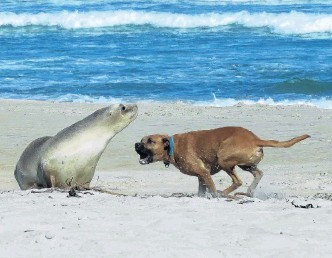 ?? PHOTO: EVGENY RODYGIN ?? Caught in the act . . . A dog off its leash disturbs a sea lion resting on Smaills Beach, in Dunedin, last week.