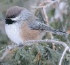 ??  JACQUES BOUVIER ?? The Boreal Chickadee is a rare winter visitor to our region during winter.