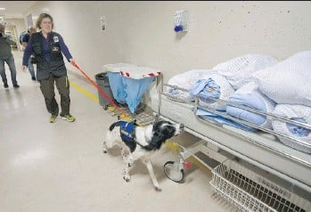 ?? MARK VAN MANEN ?? Handler Teresa Zurberg leads Angus, a two-year-old Springer spaniel, on a mission to sniff out the Clostridium difficile bacteria at Vancouver General Hospital. Angus can detect the bacteria within seconds.