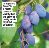 ??  ?? 'Shropshire Prune' is a hardy damson variety that will grow in pretty much any kind of garden