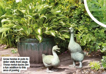 ??  ?? Grow hostas in pots to deter visits from slugs. These metal ducks are a fun addition to this area of paving