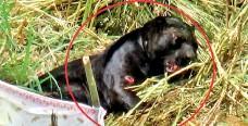 ??  ?? Tragic death of a black leopard caught in a snare