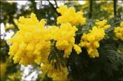 ??  ?? La floraison est à son apogée jusqu'à fin février.