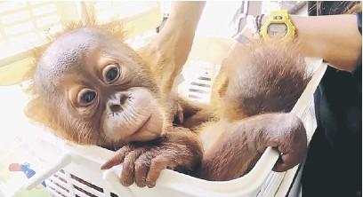 ?? — Gambar AFP ?? MANA IBU: Gambar serahan Sarayouth Phaleebatra daripada AsiaWorks yang dikeluarkan Freeland pada Rabu lalu menunjukkan anak orang utan terbabit yang dirawat di sebuah klinik haiwan susulan operasi polis di Bangkok.