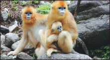 ?? LIU XIAO / XINHUA ?? A family of golden snub-nosed monkeys in the Qinling Mountains, Shaanxi province.