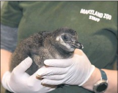?? MARYLAND ZOO ?? All of the endangered African penguin chicks hatched this season are being named after precious gemstones in partnership with Smyth Jewelers, so this chick got a gem of a name!