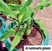 ??  ?? A turmeric plant