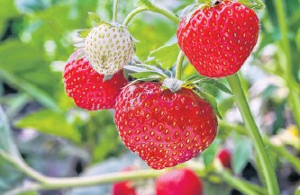 ?? 123RF STOCK ?? Strawberries are getting ripe in fields across the region. While Nova Scotia berries tend to be ready first, with P.E.I. following a week behind, Newfoundland berries typically aren't in full swing until mid-july.