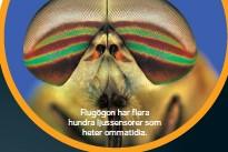 ??  ?? Flugögon har flera hundra ljussensorer som heter ommatidia.
