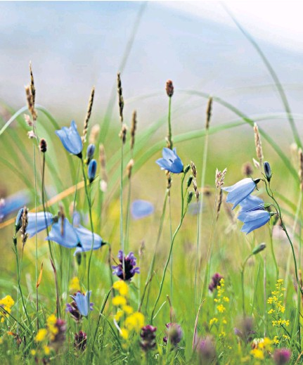 ??  ?? Beautiful harebells, also known as the 'cuckoo's shoe', growing wild on South Harris in the Outer Hebrides