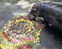 ?? /REUTERS ?? ailand's oldest hippopotamus 'Mae Mali' eats fruit and vegetables during her 55th birthday party at Khao Kheow zoo in Chon Buri, ailand, on Tuesday