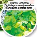 ??  ?? Foxglove seedlings (Digitalis purpurea) are often found near a parent plant