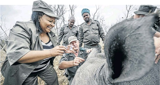 ?? Picture: Gallo Images /Foto24 /Cornel van Heerden ?? Edna Molewa helps SANParks staff sedate a rhino in the Kruger National Park as part of a 2014 relocation effort against poaching.