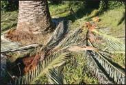 ??  ?? Verra-t-on un jour le littoral méditerranéen dépourvu de palmiers ? C'est le risque que fait courir le charançon rouge.