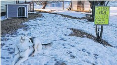 ?? SUBMITTED ?? Riley, a three-year-old husky, has a new doghouse after neighbours complained the pet was left outside in the cold for hours at a time. Riley's owners say the breed is adapted to the cold, and he will never use the shelter they're calling a $200 lawn ornament.