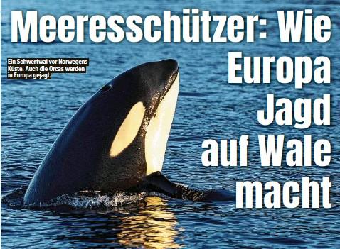 ??  ?? Ein Schwertwal vor Norwegens Küste. Auch die Orcas werden in Europa gejagt.